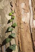 Ivy (Hedera helix ) growing on sycamore tree (Platanus), close-up Stock Photos