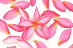 pink petals - stock photo