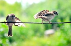 two sparrows - stock photo