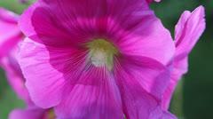 Hollyhock flower Stock Footage