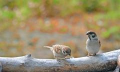 sparrows - stock photo