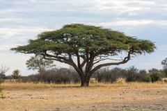 Camel thorn tree under a cloudy sky Stock Photos