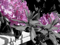 Pink flowers black and white photo Stock Photos