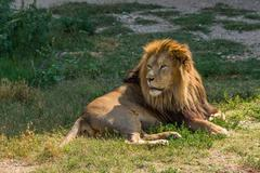 male lion lying - stock photo