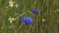 Cornflowers and chamomile bloom at field edge waving rye field - close up Stock Footage