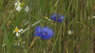 Stock Video Footage of cornflowers and chamomile bloom at field edge waving rye field - close up