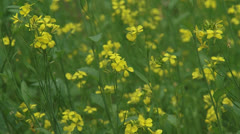 Yellow flowers of black mustard - Brassica nigra - stock footage