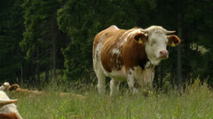 Bored cow looking Stock Footage