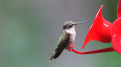 Ruby-throated Hummingbird Stock Footage