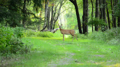 Whitetail Deer Doe - stock footage
