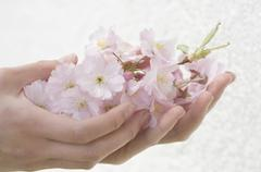 Germany, Bavaria, Human hands holding cherry blossom flowers Stock Photos