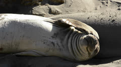 Northern Elephant Seals sunning on the beach at Piedras Blancas near San Simeon, Stock Footage