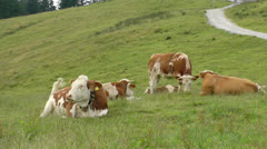 Group cattle bavaria Stock Footage