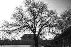 a tree in front of tiananmen tower (b&w) - stock photo