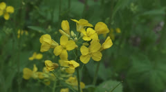 Brassica rapa blooming, yellow flowers - stock footage