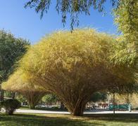 Golden sand willow in autumn Stock Photos