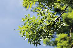 Ash tree against sky, close up Stock Photos