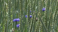Triticum spelta + cornflowers -  wheat field Stock Footage