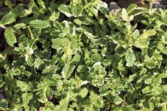 Stock Photo of Germany, Close up of Variegated Apple Mint plant