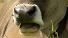Cow mouth full of flies Stock Footage