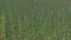 Triticum spelta + cornflowers - pan Stock Footage