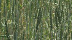Triticum spelta, spelt - close up - low angle Stock Footage