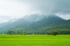 landscape of rice field in thailand - stock photo