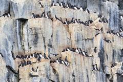 Europe, Norway, Spitsbergen, Svalbard, Group of little auk on rock - stock photo