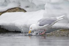 Europe, Norway, Spitsbergen, Svalbard, Glaucous gull drinking water - stock photo