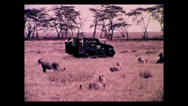 Stock Video Footage of Tug of war with lions, Tanzania 1937