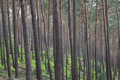 Stock Photo of Germany, Rhineland-Palatinate, North Vosges, View of scots pine trees in