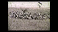 Stock Video Footage of Vultures feeding on kill, Tanzania 1937