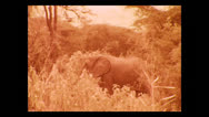 Stock Video Footage of Three geneartions of elephants walking by, Tanzania 1937