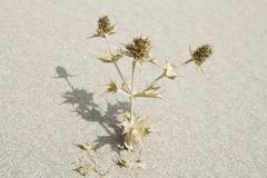 Turkey, Izmir, View of dead thistle plant in sand Stock Photos