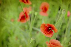 Germany, Munich, Close up of red poppy in meadow, textured effect - stock photo