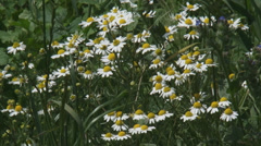 Chamomile, scented mayweed, blooming in field edge Stock Footage