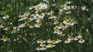 Stock Video Footage of chamomile, scented mayweed, blooming in field edge