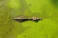 alligator in wetland pond covered with duckweed and swimming - stock photo