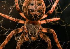 European garden spider macro - stock photo