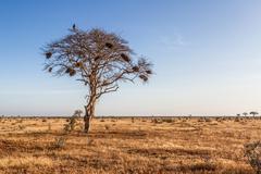 tree in the open savanna plains of tsavo national park - stock photo