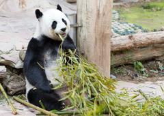 young panda in zoo - stock photo