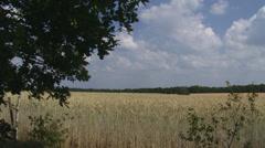 Golden rye field waving in wind Stock Footage