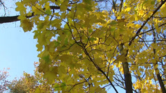 Autumn coloured yellow leaves - low angle + pan branch against blue sky Stock Footage