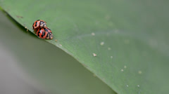 Lady bird mating on a green yam tree leaf Stock Footage