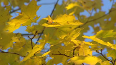 Autumn coloured leaves in wind, branch against blue sky - low angle + pan Stock Footage