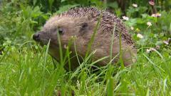 European Hedgehog (Erinaceus europaeus) foraging in garden - stock footage