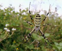 Striped spider Stock Photos