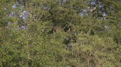 Stock footage African animals -baboon leaping from tree Stock Footage