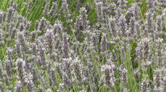 Lavender 3 Stock Footage