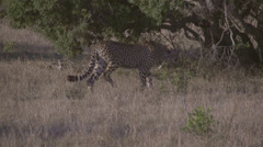 Stock footage African animals -cheeta walking Stock Footage
